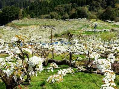 毎床梨の花